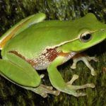 Green frog on tree bark